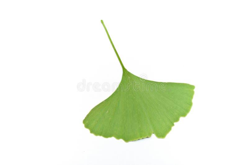 Изолированные лист biloba gingko стоковая фотография
