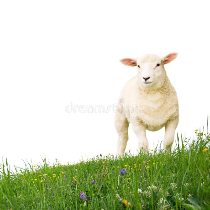 изолированные овцы стоковое фото rf