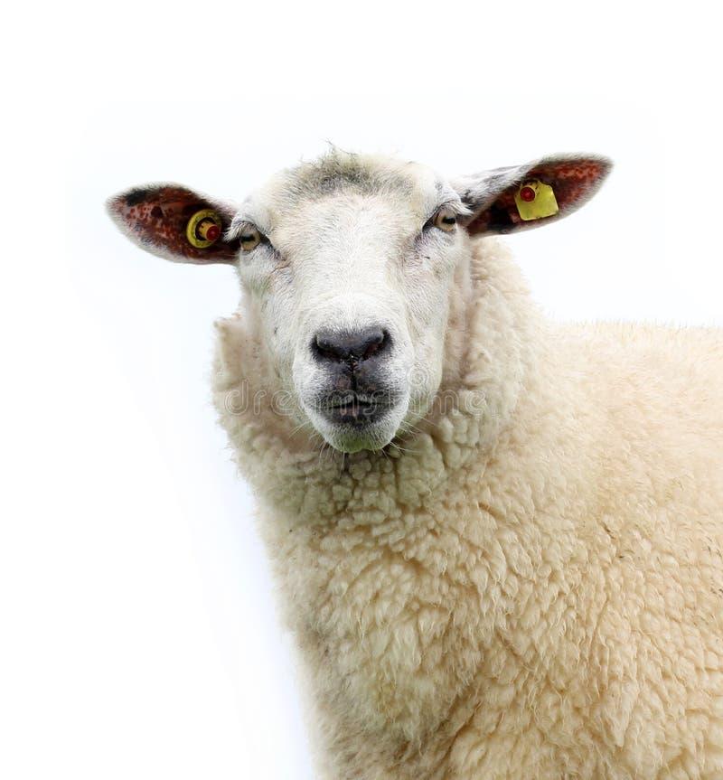 изолированные овцы стоковые фотографии rf