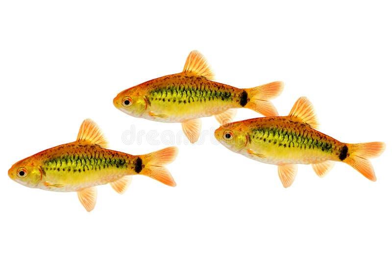 Изолированные рыбы аквариума колючки semifasciolatus Barbodes колючки золота китайские стоковая фотография rf