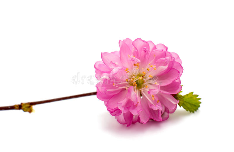 Изолированные цветения вишневого дерева весны стоковая фотография rf