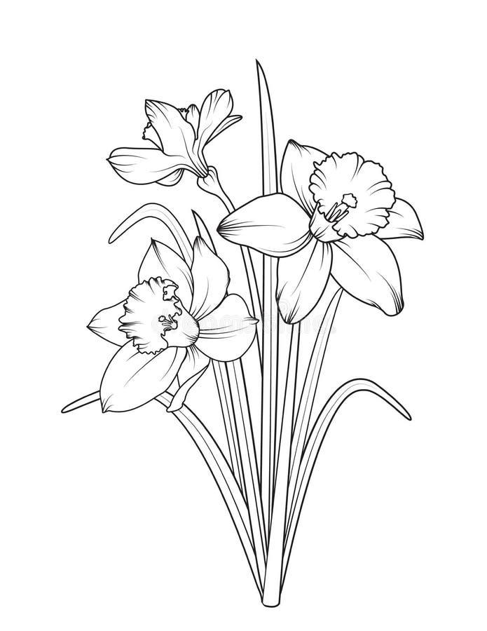 Изолированные цветки весны narcissus Daffodils иллюстрация вектора