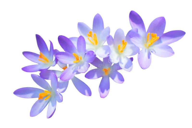 Изолированные цветки крокуса весны сирени стоковое фото rf