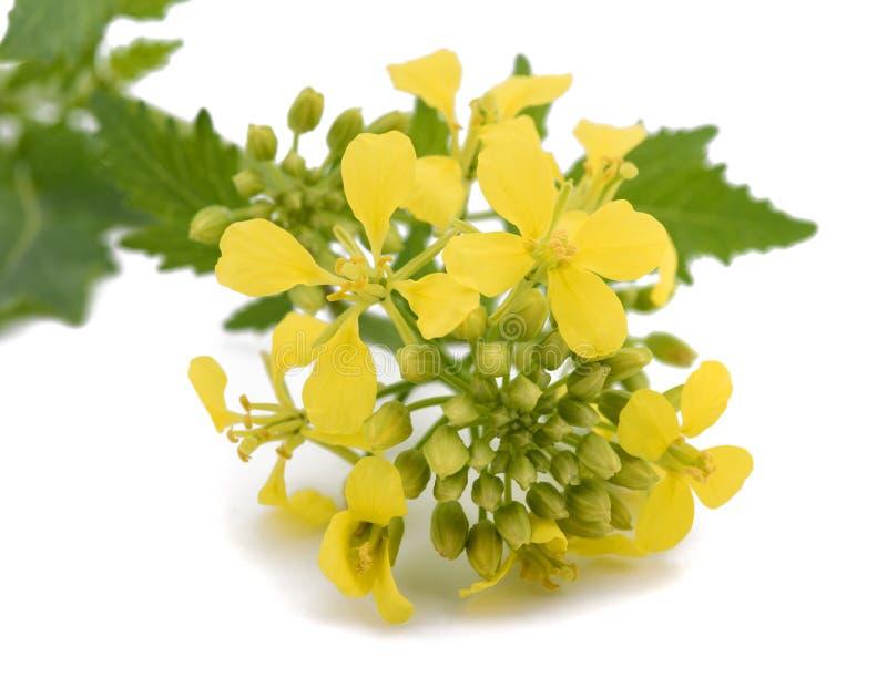 Изолированные цветки мустарда стоковое изображение