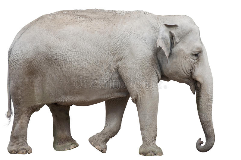 Изолированный азиатский слон стоковое изображение