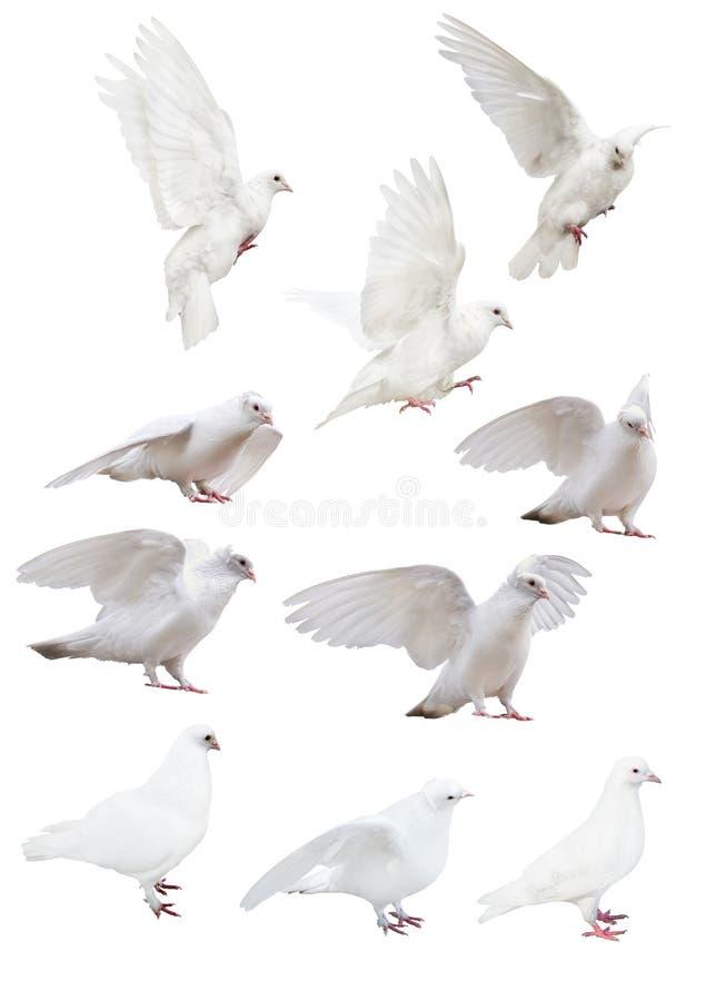 Изолированный 10 белым голубям стоковое изображение