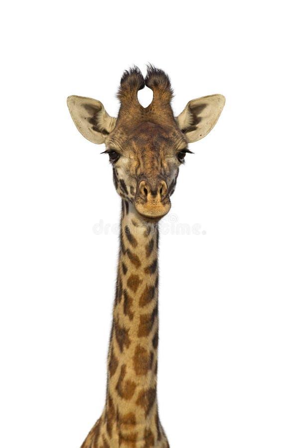 Изолированный жираф стоковое фото rf