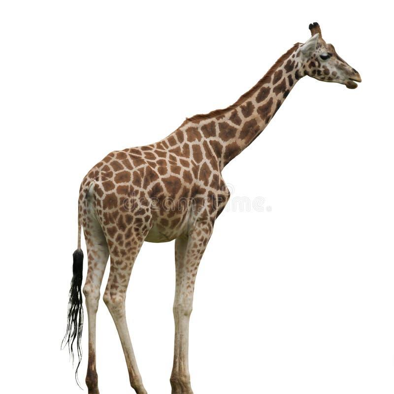 Изолированный жираф стоковые фотографии rf