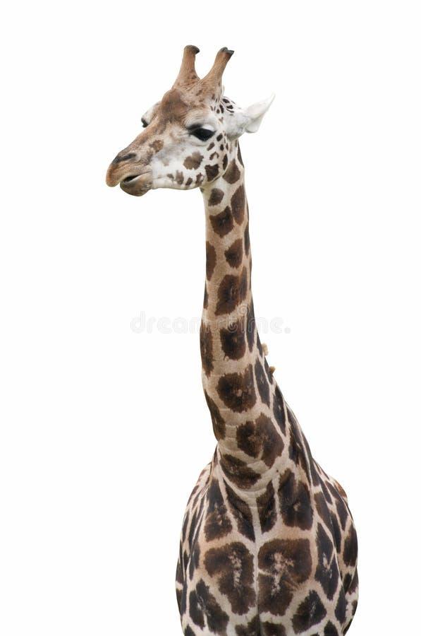 Изолированный жираф стоковое изображение