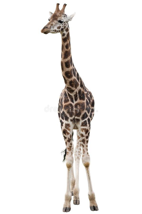 Изолированный жираф стоковые изображения rf