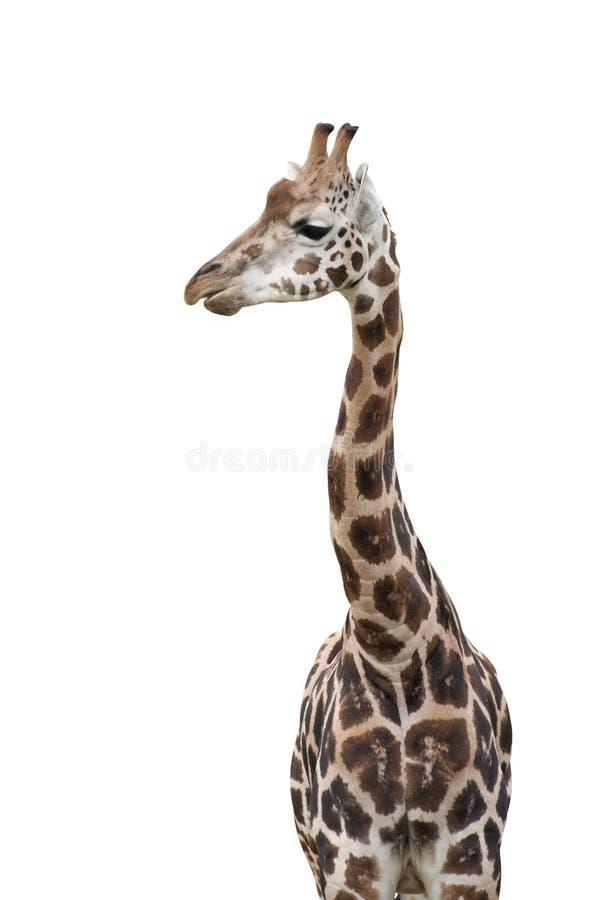 Изолированный жираф стоковая фотография rf