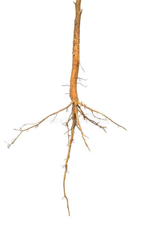 Изолированный корень стоковые фото