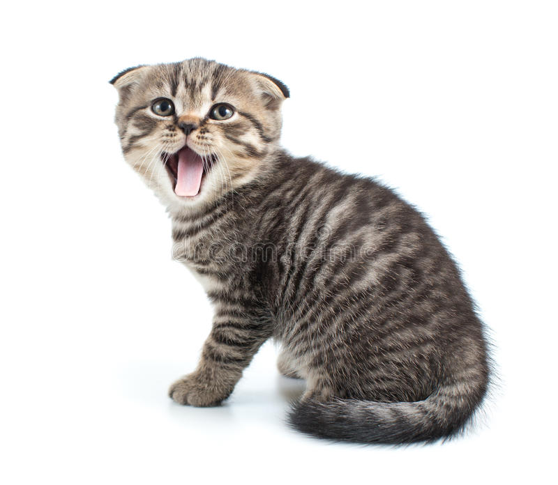 Изолированный кот котенка Tabby с открытым рта стоковые фото