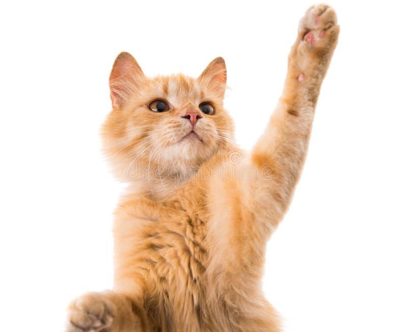 Изолированный кот стоковые фотографии rf