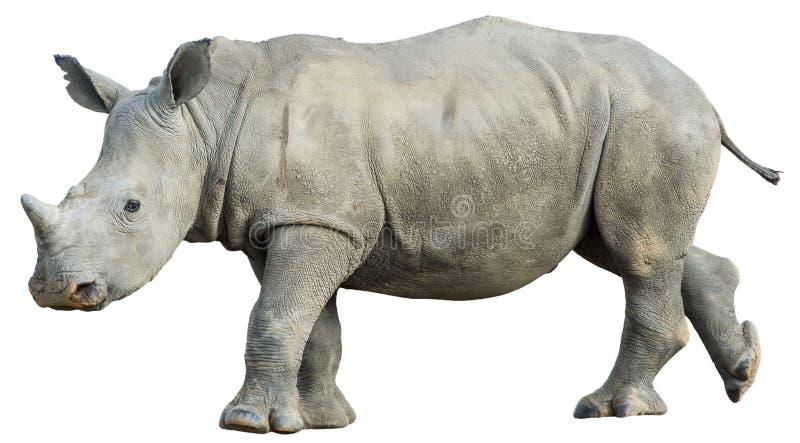 Изолированный молодой носорог стоковая фотография rf