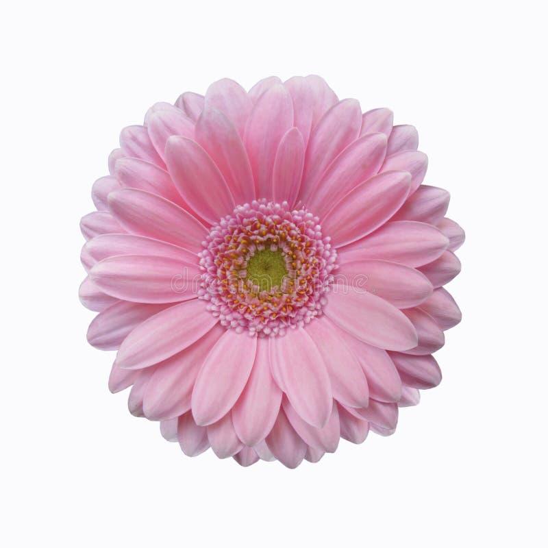 Изолированный мягкий розовый цветок маргаритки gerbera стоковые изображения rf