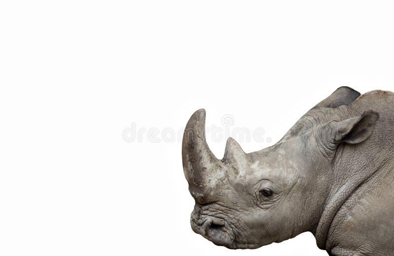 Изолированный носорог стоковое изображение