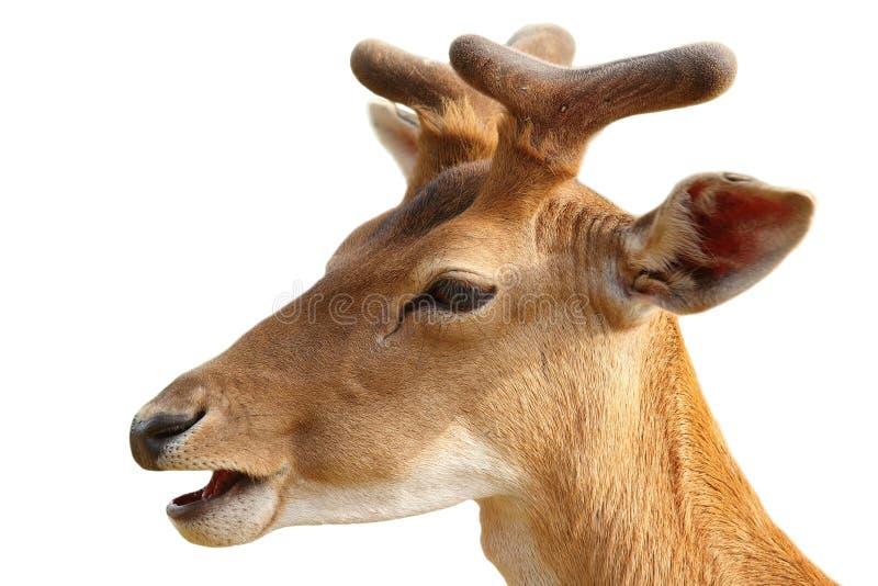 Изолированный портрет молодого самца оленя ланей стоковые фотографии rf