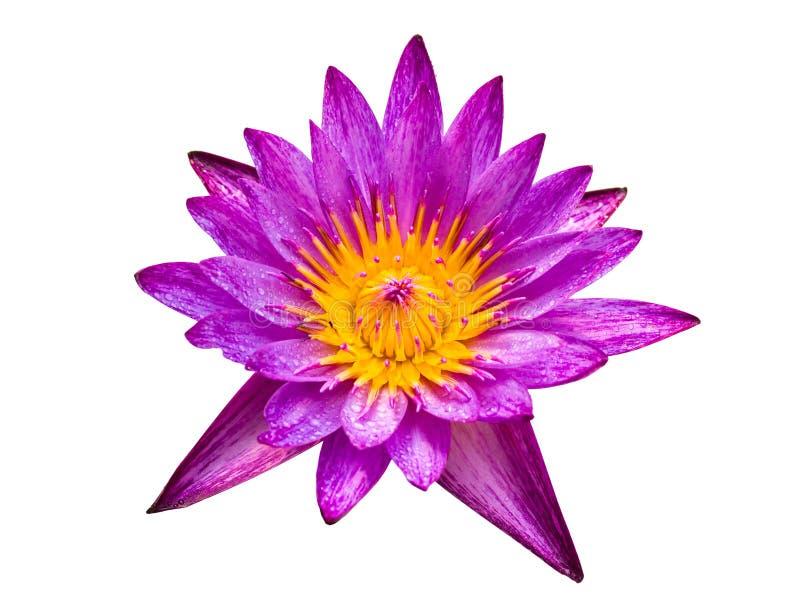 изолированный пурпур лотоса стоковая фотография rf