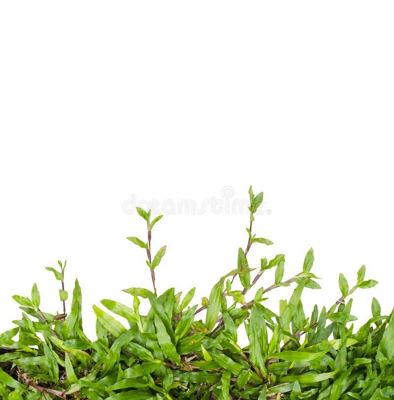 Изолированный плющ зеленой травы стоковое фото rf