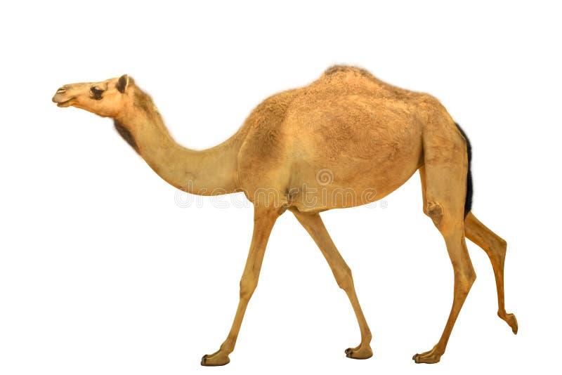 Изолированный дромадер верблюда стоковое фото rf