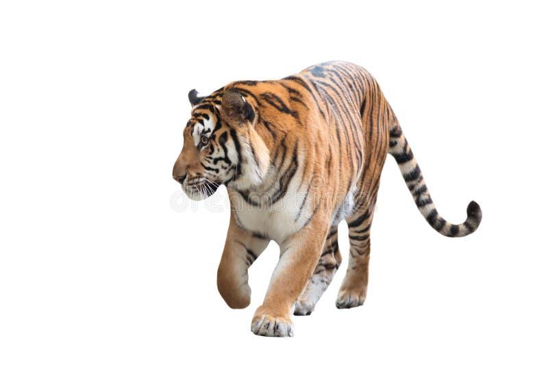 Изолированный тигр Бенгалии стоковые фото