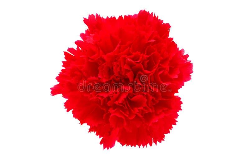 Изолированный цветок гвоздики стоковые фотографии rf