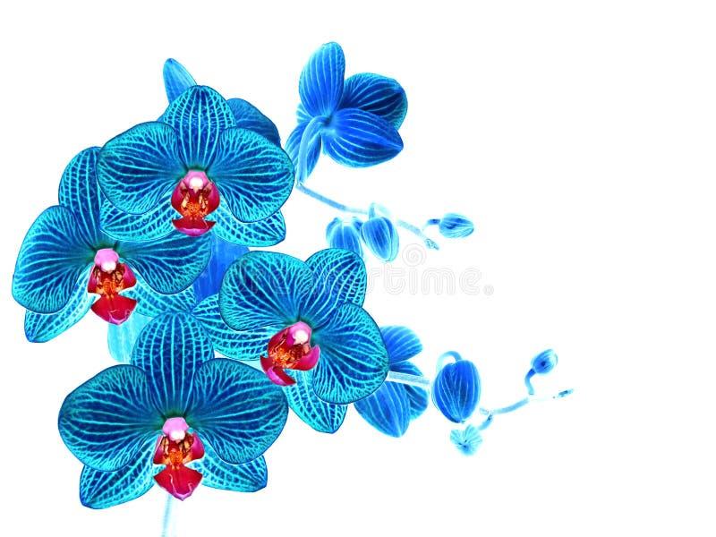 Изолированный цветок голубой орхидеи, белизна стоковая фотография rf