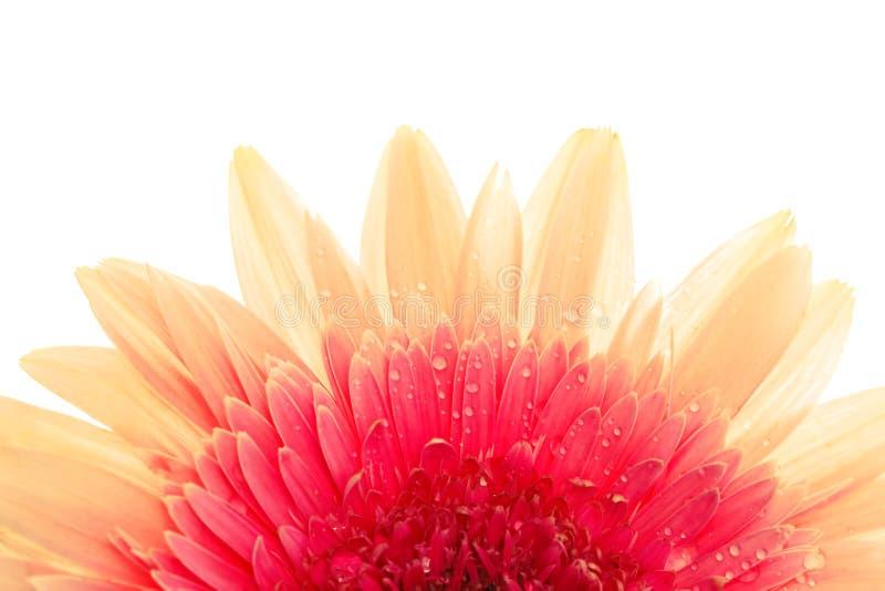 Изолированный цветок, макрос Gerbera, изолированный на белизне стоковые изображения