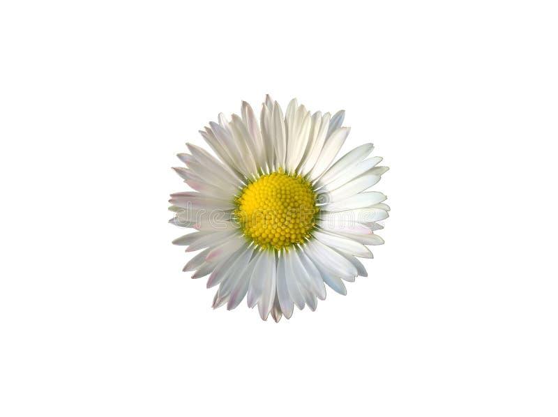 изолированный цветок маргаритки стоковое фото