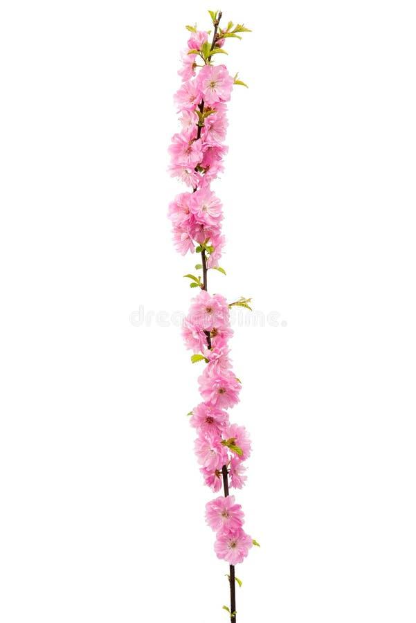 Изолированный цветок Сакуры стоковые изображения