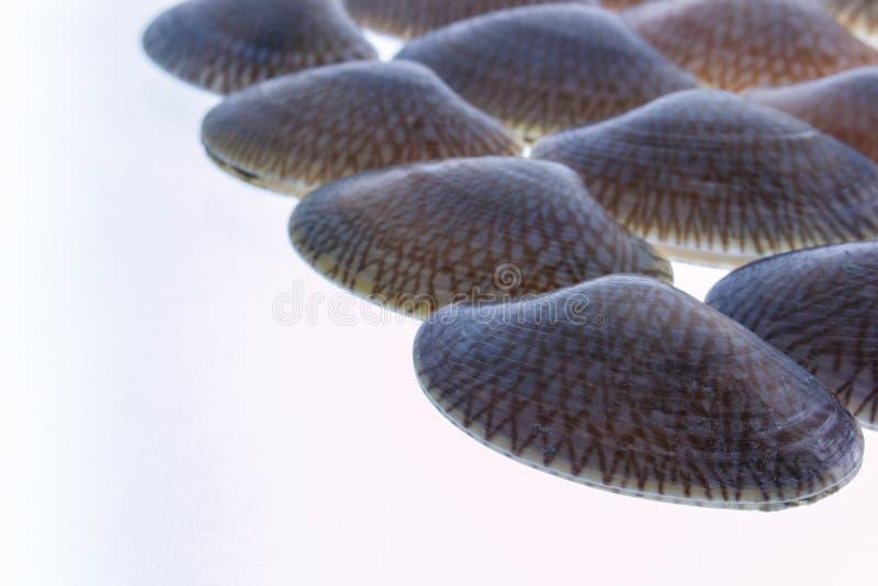 Download Изолированный Clam прибоя крупного плана свежий сырцовый Стоковое Изображение - изображение насчитывающей seafood, рамка: 40580633