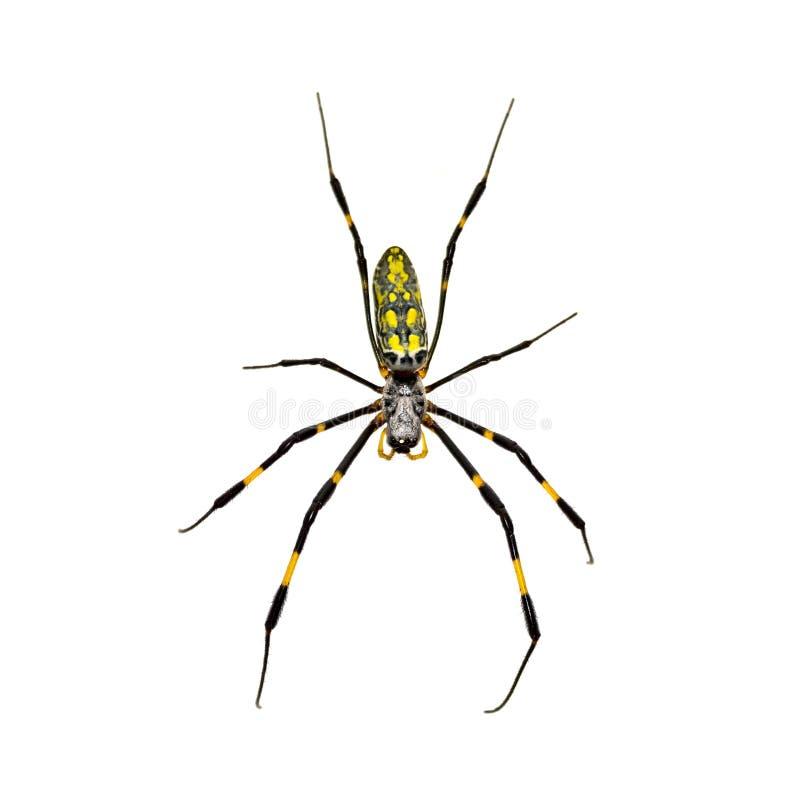 Изолированный Silk паук стоковые фото