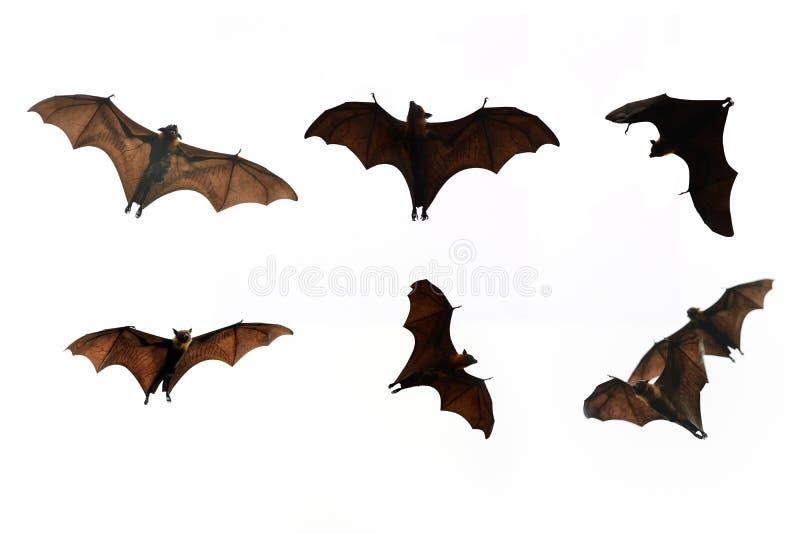 Изолят летучей мыши собрания на белой предпосылке - фестивале хеллоуина стоковое изображение rf
