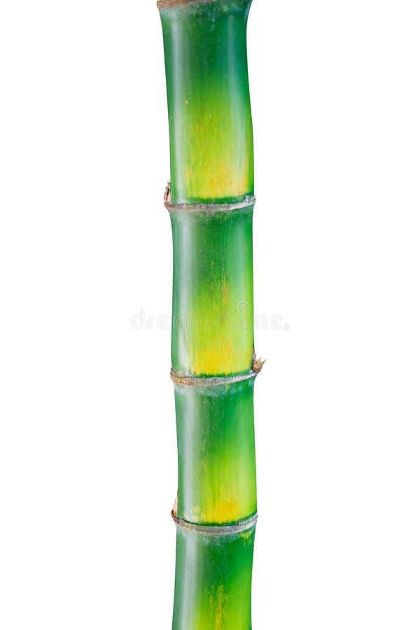Изолят зеленого хобота бамбуковый на белой предпосылке стоковые изображения