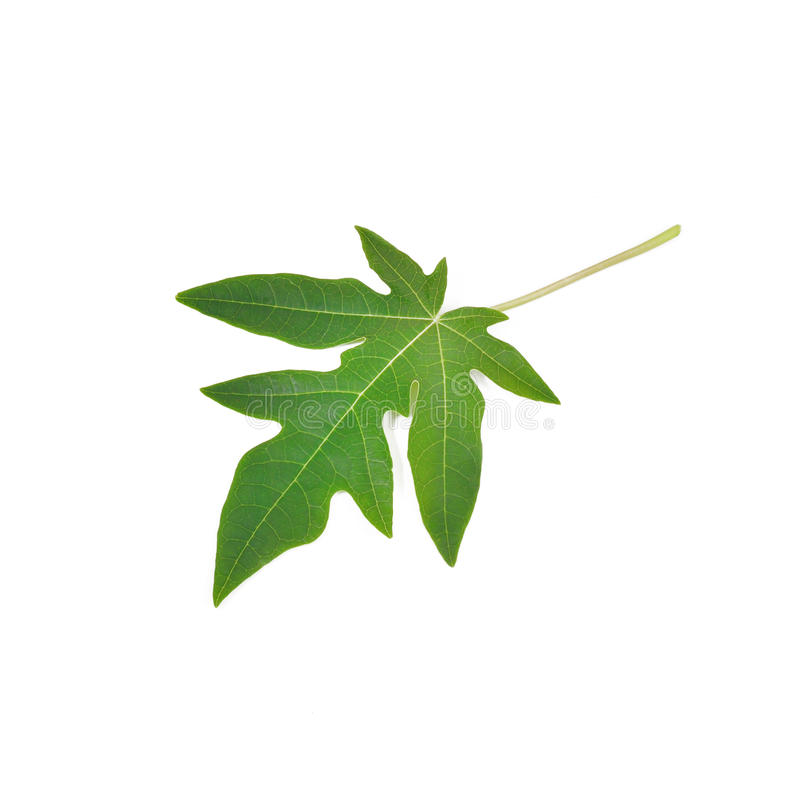 Изолят листьев папапайи на белой предпосылке стоковые фото