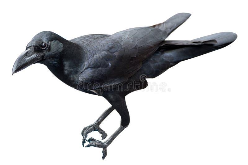 Download Изолят птицы ворона на белой предпосылке Стоковое Фото - изображение насчитывающей обще, переселения: 81811554