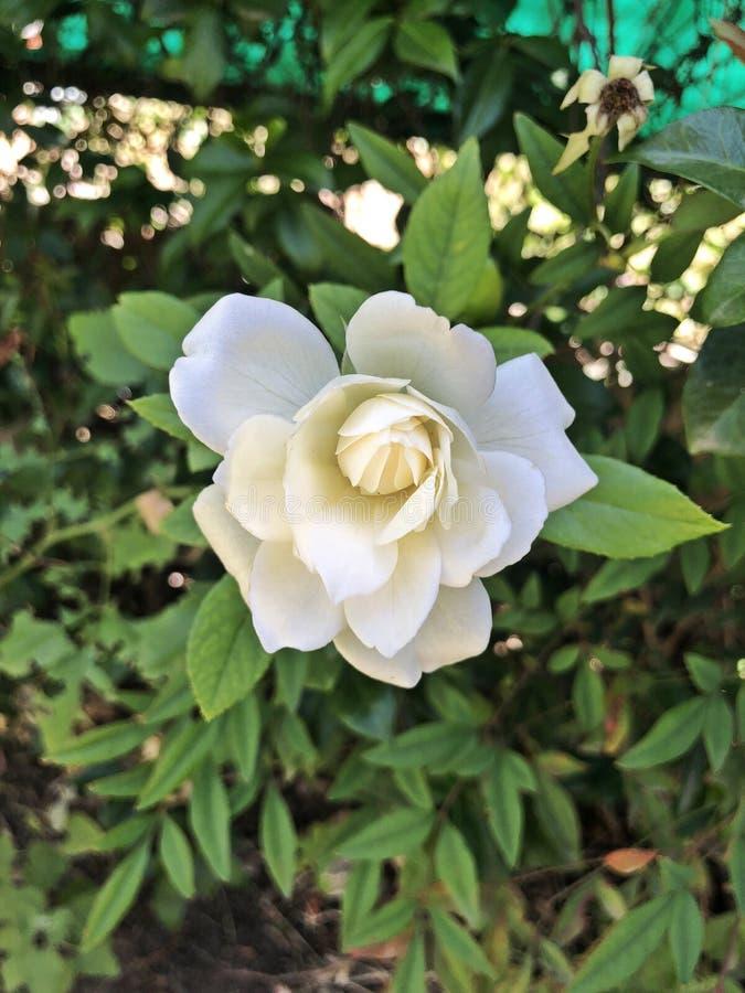 Изумительная съемка от красивого белого цветка стоковые изображения rf