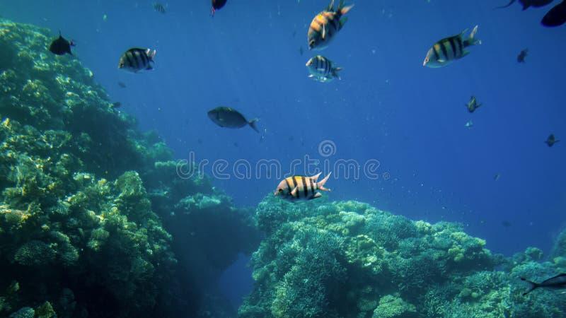 Изумительное подводное фото большой школы красочных тропических рыб плавая на большом коралловом рифе стоковые изображения