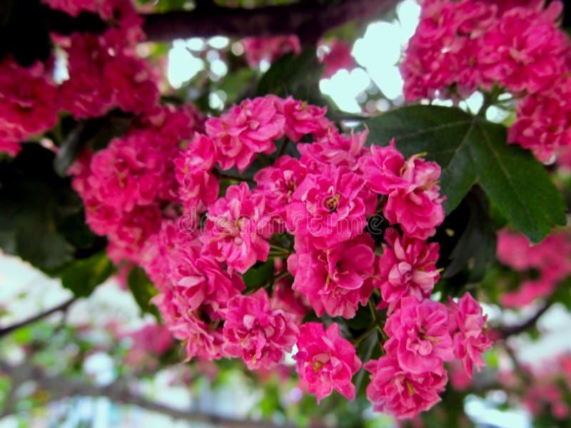 Изумительное розовое цветорасположение малых двойных цветков орнаментального боярышника стоковая фотография