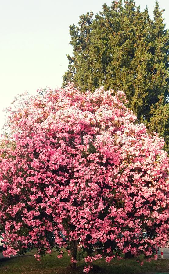Изумительные розовые дерево и цветки стоковое изображение