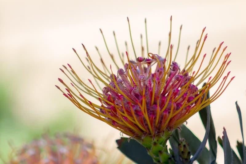 Изумительный конец-вверх цветка Leucospermum также известного как pincushion известняка уроженец Южной Африки стоковые изображения