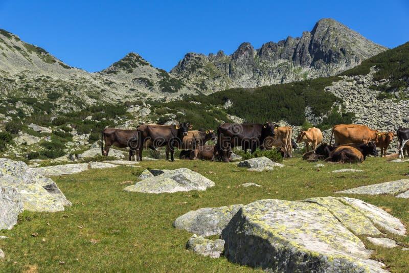 Изумительный ландшафт с пиком и коровами Dzhangal на зеленых лугах, горе Pirin стоковое изображение rf
