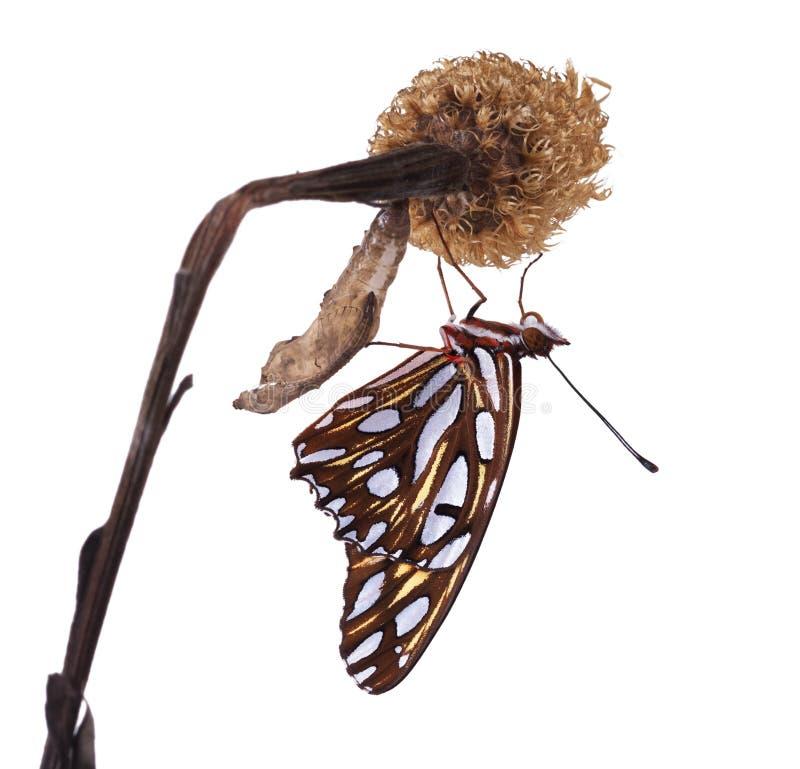 Изумительный момент о chrysalis формы изменения бабочки Вентральное VI стоковые фото