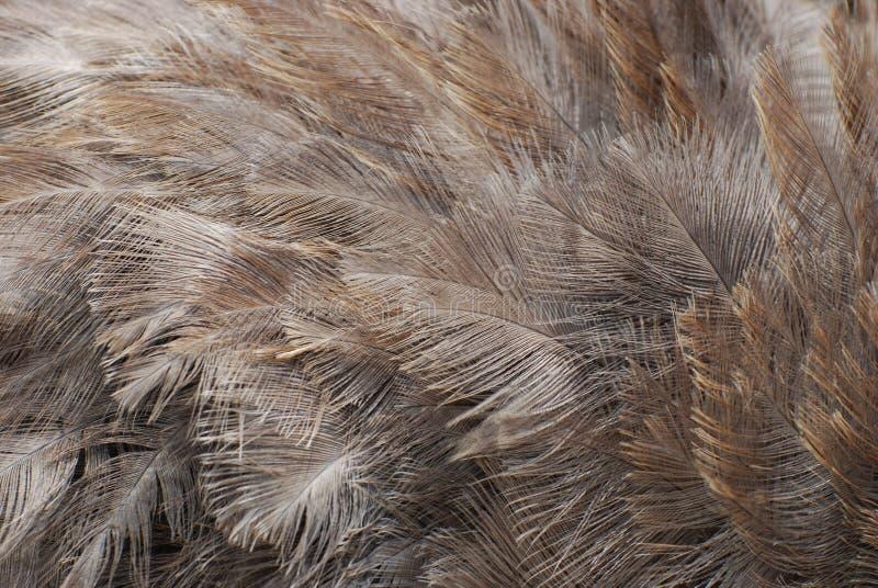 Изумительные серые пер страуса на большой птице стоковая фотография