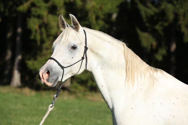 Изумительный белый жеребец аравийской лошади стоковое изображение
