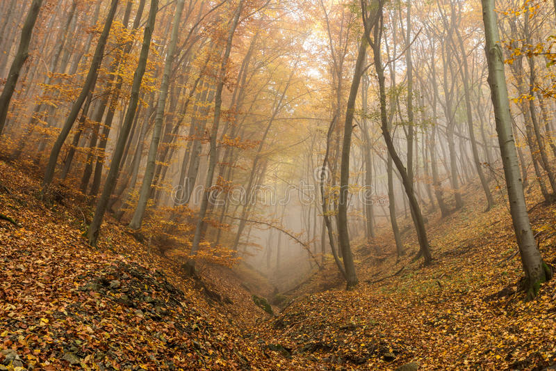 Изумительный взгляд осени с туманом в желтом лесе, горой Vitosha, Болгарией стоковая фотография rf
