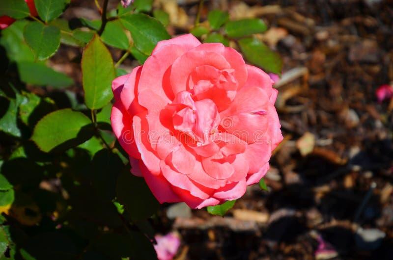 Изумляющ близко вверх по фотографии розовой гибридной розы чая, розановые, принятых сверху во время весеннего сезона стоковое изображение