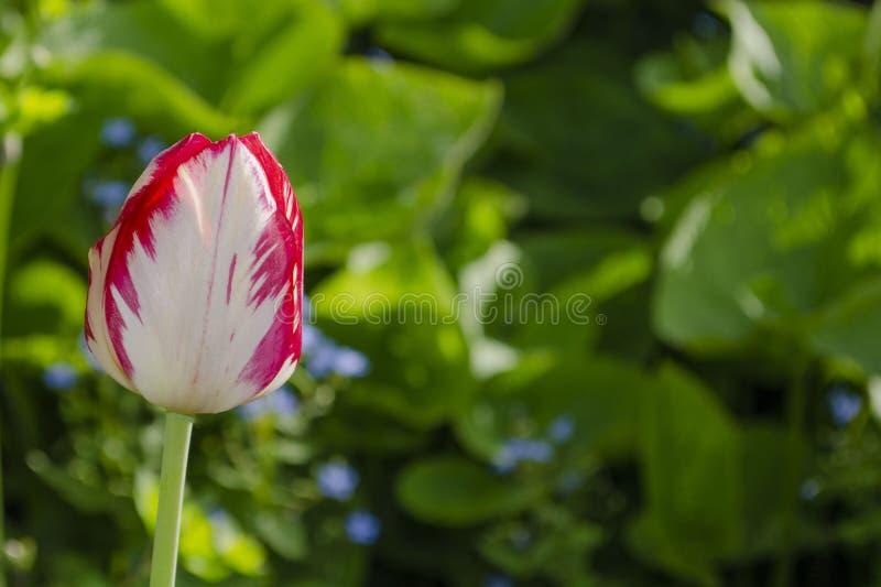 Изумляя взгляд красочного розового тюльпана цветя в ландшафте сада и зеленой травы стоковые фото