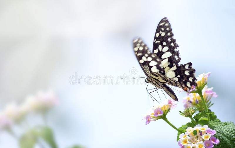 Изумляя красивая бабочка белых пастельных цветков на пинке предпосылки цветков идеальный конец макроса вверх стоковая фотография
